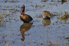Бел-ая свистя утка Стоковые Фото