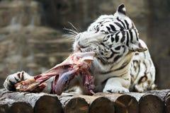 Бенгалия его тигр зубов мяса сорвала белизну Стоковые Изображения RF