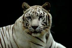 бенгальская белизна тигра Стоковое Изображение