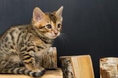 Бенгальский striped котенок сидит на частях березовой древесины, на темной предпосылке Стоковая Фотография RF