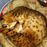 Бенгалия запятнала кота завитого вверх Стоковое Изображение RF