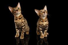 2 Бенгалия Kittys смотря в камере на черноте Стоковые Фотографии RF