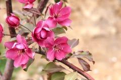 Бенгальский огонь яблони Стоковые Фотографии RF