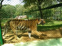 Бенгальский тигр Стоковые Изображения