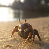 берег моря рака пляжа черный Стоковые Изображения RF