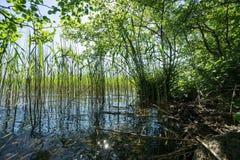 Берег озера с тростником Стоковая Фотография