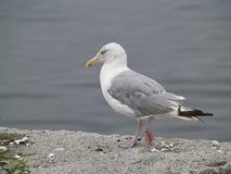 Берег чайки готовя Стоковая Фотография