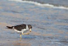 берег чайки s franklin Стоковые Изображения RF
