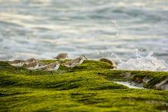 Берег Sanderlings стоковая фотография