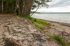 Берег Sandy озера леса с деревом укореняет Стоковая Фотография RF