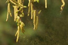 Береза Береза повислая, цветень серебряной березы распространяя Стоковая Фотография