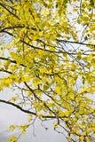 береза выходит желтый цвет Стоковые Изображения