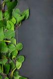 Береза выходит при отраженные падения росы в воде Стоковые Фото
