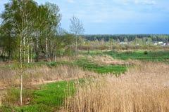 Береза в лесе весны Стоковые Изображения RF