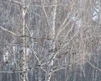 Береза в изморози Стоковые Изображения RF