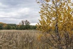 Береза в поле Стоковое Изображение RF
