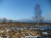 Береза в поле Стоковая Фотография