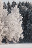 Береза в снеге Стоковые Изображения