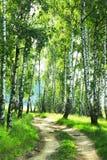 Береза леса Стоковые Фото