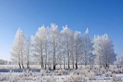 Береза зимы Стоковое Изображение