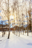 Береза зимы Стоковые Изображения