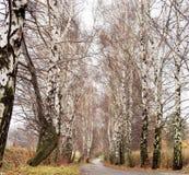 Береза на дороге Стоковая Фотография