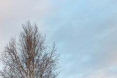 Береза на предпосылке неба зимы Стоковые Фото