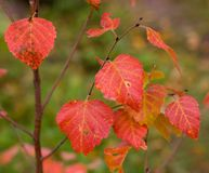береза осени Стоковое Фото