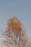 Береза. Осень. Стоковое фото RF