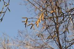 береза отпочковывается вал весны catkins Стоковое Изображение