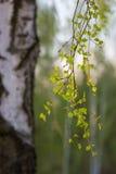береза отпочковывается вал весны catkins Стоковые Фото
