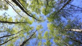 Береза покрывает в мирном голубом небе, вращении акции видеоматериалы