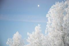 Береза покрытая с изморозью в морозном утре зимы Стоковые Изображения RF