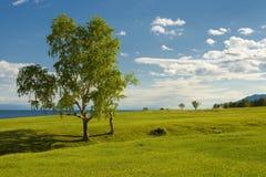 Береза растя в поле Стоковые Фото