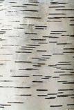 береза расшивы Стоковые Фотографии RF