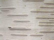 береза расшивы Стоковая Фотография RF