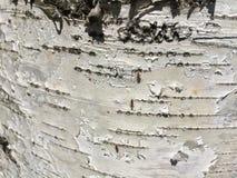 Береза ствола дерева Стоковая Фотография RF