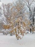 Береза с золотыми листьями покрытыми со снегом стоковая фотография rf