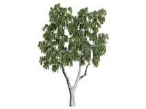 береза betula Стоковое фото RF