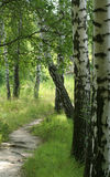 березовая древесина Стоковое Фото