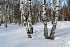 березовая древесина Стоковое Изображение