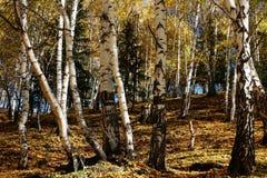 березовая древесина Стоковые Изображения