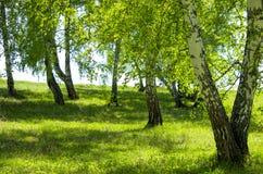 Березовая древесина в мае Стоковое Изображение RF