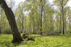 Березовая древесина лета Стоковые Фотографии RF