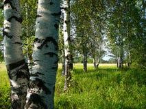 березовые древесины Стоковое фото RF