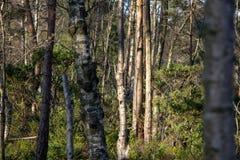 Березы в древесинах стоковая фотография