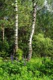 2 березы в лесе лета Стоковое Изображение