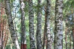 Березы в лесе лета Стоковое Изображение RF