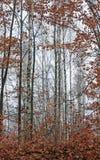 Березы в лесе лета Стоковое Изображение