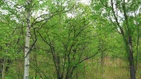 Березы вдоль обочины Остров Сахалина сток-видео